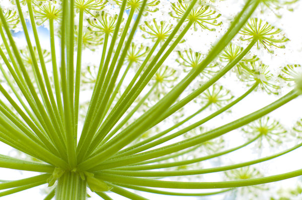 http://www.dreamstime.com/stock-image-giant-hogweed-image26006461